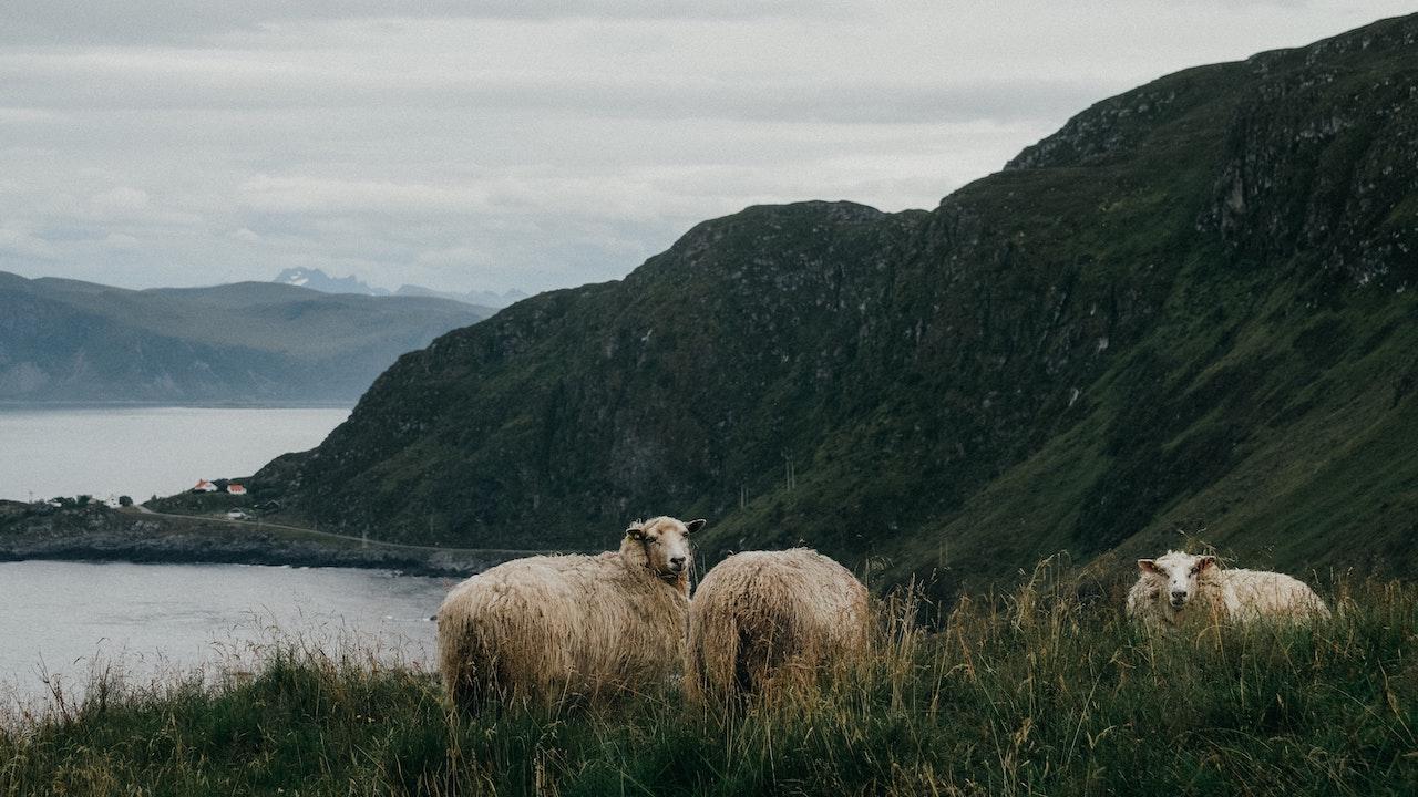 Wollschafe in Norwegen